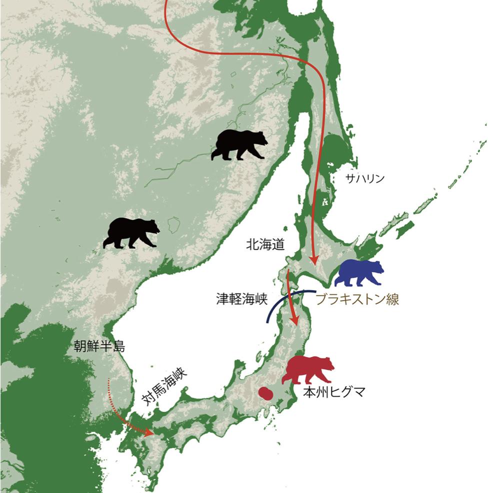 本州にかつて生息していたヒグマの起源の解明